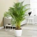 Areca Palm / Butterfly Palm / Dypsis Lutescens Ornamental Palm Seeds