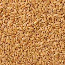 Wheat (Gehun) Lokman