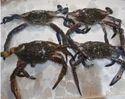 Crab Fresh Crustaceans