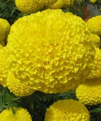 Yellow Hybrid Marigold seeds