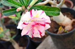 Adenium Double Colour Plant