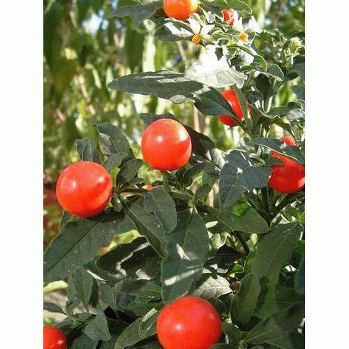 Kantakari Solanum virginianum 500+ Samen Thai-Aubergine