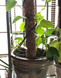 Brown Cylindrical Garden 4 Feet Money Plant Coir Pole