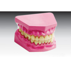 Dental Model Small/ Transparent Adult Teeth Model