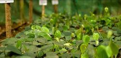 Tata Nursery Pepper