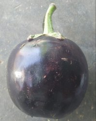 A Grade Purple Baingan (Gol/Bharta), Packaging :20 Kg