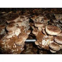 Shiitake Mushroom Spawn