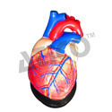 Anatomical Model Heart Models, Size: Life-size