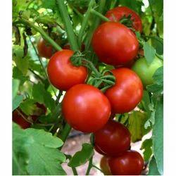 Hybrid Tomato Seeds TM - 1718