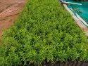 Nursery Sandalwood Plant