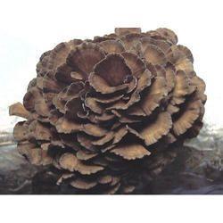 Mitake Mushroom Extract