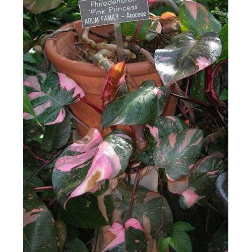 Philodendron pink princess view specifications details of philodendron pink princess mightylinksfo