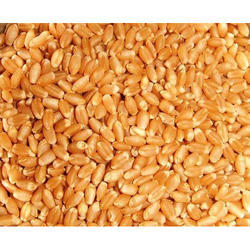 Lobhwan Wheat Grains