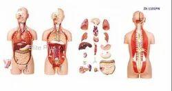 Human Torso Models
