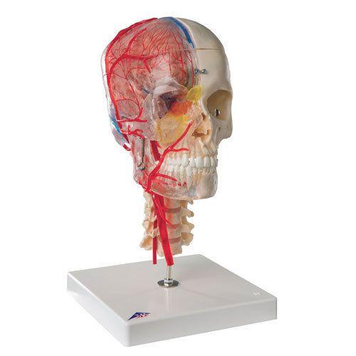 3b Scientific System Skull Anatomical Models 44 Ishwar Nagar