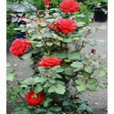 Indian Red Rose Plant
