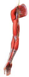 Muscles Of Arm With Main Vessels And Nerves Models