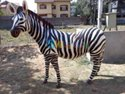 Fiber Animal Zebra YK-127