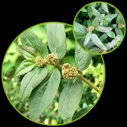 Euphorbia Essential Oil