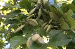Natural Green pongamia pinnata pungan seed, For Growing, Packaging Size: 1