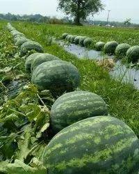 Maxx NGF Fresh Watermelons