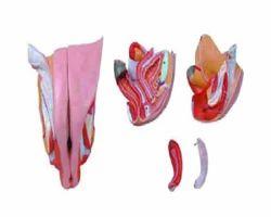 Female Genital Modal