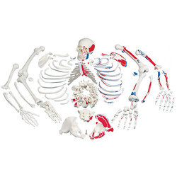 Disarticulated Full Human Skeleton