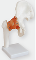 Life-Size Hip Joint Models