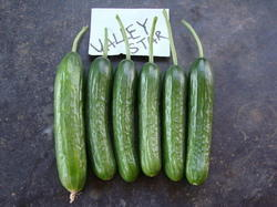 Valley Star Cucumber Seed