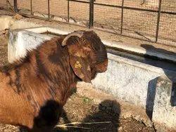 Male Sirohi Goats