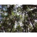 Acacia Springvale Tree