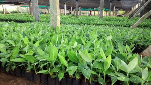Tissue Culture G9 Banana Plant At Rs 14