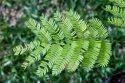 Shikakai / Acacia Concinna Tree Seeds