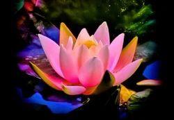 Sweet Lotus Fragrance