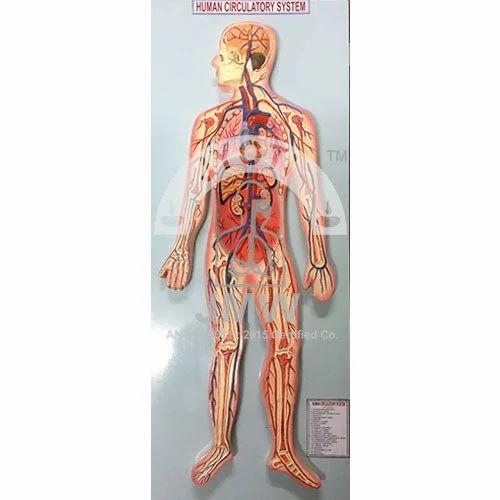 Human Circulatory System Model, Human Anatomy Models, मानव ...