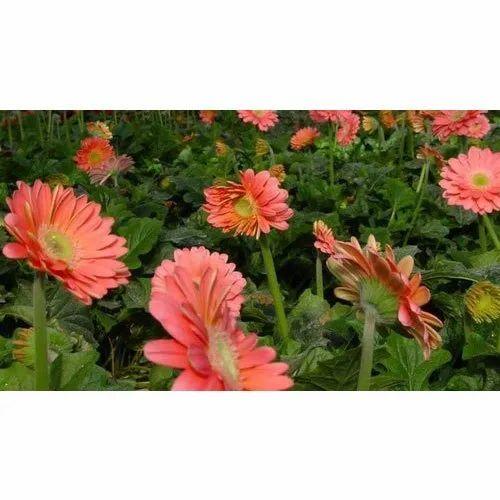 Gerbera Daisy Flower At Rs 25 Piece Gomti Nagar Lucknow Id 20710886062