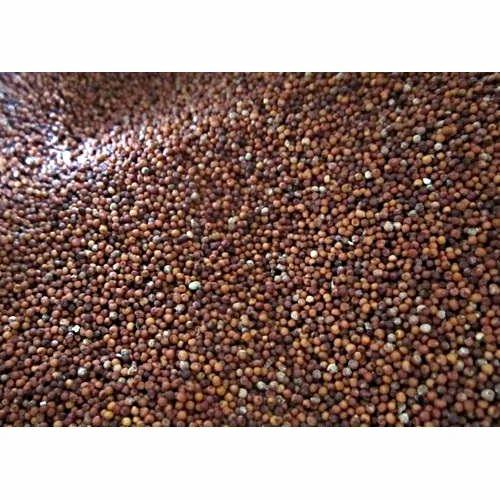 Dry Ragi Seeds at Rs 35 /kilogram | Karumandapam ...