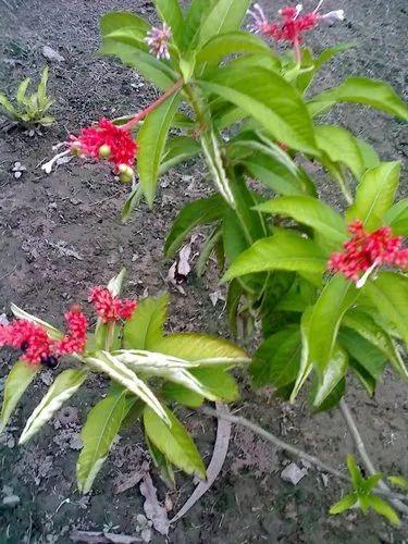 Serpentine Wood - Rauwolfia Root