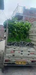 Kadam Plant Nursery, For Garden