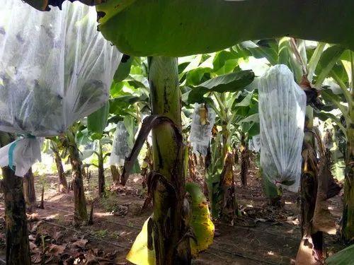 White Banana Crop Cover