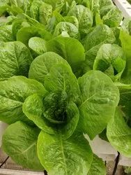 A Grade Green Romaine Lettuce (Hydroponic, Pesticide-Free), Packaging Size: 150-250 gm, Packaging Type: Plastic Bag