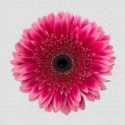 Gerbera Daisy Flower African Daisy Flower गरब र क फ ल गरब र फ ल वर Eden Flora Bengaluru Id 19942658833