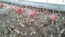 Vanaraja Chicken Chicks
