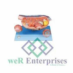Plastic Medical Ovary Model