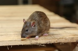 Household Rodent Control Service