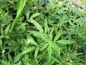 Stylo Hamata / Stylosanthes Hamata Fodder Grass Seeds