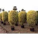 Ficus Prestige Plant