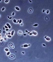 Bacillus Polymyxa