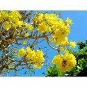 Tabebuia Argentea Tree