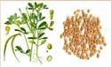 Fenugreek Seeds Methi